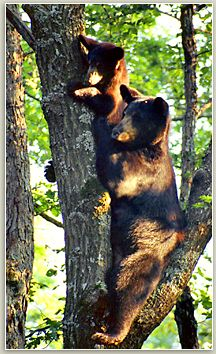 Mount Magazine, Arkansas: The Mount Magazine District of the Ozark National Forest has one of the highest bear populations in Arkansas.
