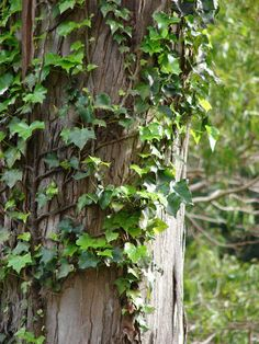Houseplants for Better Sleep English Ivy Is Both Beautiful And Potentially Invasive. I'll Teach You How To Grow It, And Also How To Keep It From Spreading Like Wildfire Ivy Plants, Nature Plants, Potted Plants, Ivy Tree, Hedera Helix, Orchid Care, Garden Planters, Garden Projects, Houseplants