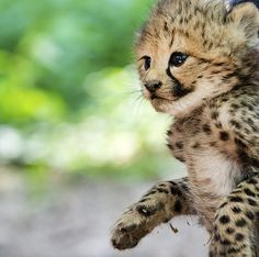 Cheetah cub at Burgers Zoo in the Netherlands