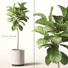 model of ficus lyrata House Plants Decor, Plant Decor, Interior Plants, Interior Exterior, Ficus Lyrata, Ficus Elastica, Trees To Plant, Plant Leaves, Plantas Indoor