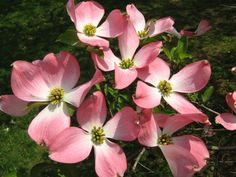 Pink dogwood blossoms Pink Dogwood, Blossoms, My Favorite Things, Flowers, Plants, Flora, Royal Icing Flowers, Floral, Plant