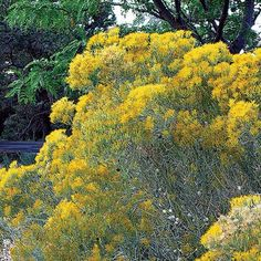 Rubber Rabbitbrush | Chrysothamnus nauseo (Full sun, Yellow fall color; seeds and cover for birds, 2-6')