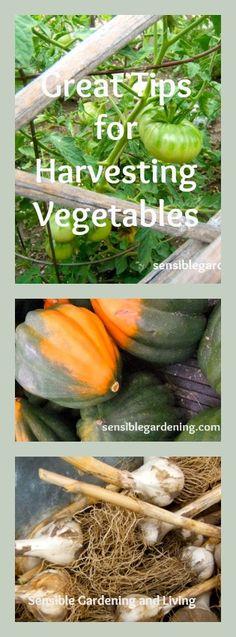 Harvesting Vegetables at Sensible Gardening and Living