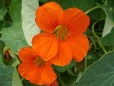 Nasturtium is an easy-to-grow annual whose leaves and flowers are edible. These plants with their bright greenery and vibrant flowers are good for containers or ground covers. Their pretty fragrance also makes them a good choice for cut flowers. Nasturtiums are perfect to grow with children because they grow so easily and rapidly.