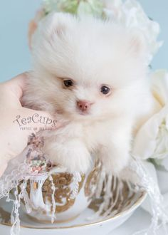 Pomeranian Puppy by Teacup Puppies