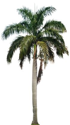 Image result for palm trees png