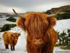 Scottish Cows, I love these guys! - National Geographic – Best Photos of 2011