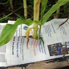 #5 Newspaper in Garden. Smother those weed seeds from germinating.  Apply mulch on top of newspaper.