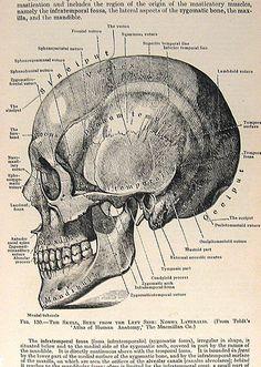 Skeleton Hand Drawing - Down Facing Hand Skeletal Diagram - Anatomy Print by Vintage Anatomy Prints Medical Art, Medical Drawings, Medical Illustrations, Medical Quotes, Medical Gifts, Medical School, Art Illustrations, Skull Reference, Skull Illustration