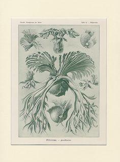 1900 Antique Haeckel Original Rare Botanical by Discoverprints, $44.00