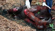 An orangutan covers his face after being anesthetized and having fallen from a tree in the village of Desa Parit Dongkak Wak, Wajok low district, Pontianak, Kalbar, on Monday (8/27/2012).      The rescue team members perform a series of medical procedures in male orangutans who were seriously injured. Some orangutans suffered burns after efforts to evict them from the burning trees.      FOTO ANTARA / Jessica Helena Wuysang