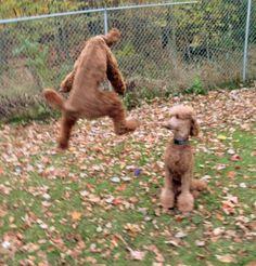 Explore arreaustandardpoodles's photos on Photobucket.