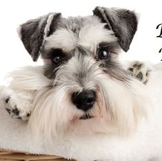 Mini schnauzer .....wow really beautiful