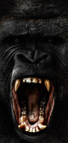 A raging male silverback gorilla - Doing it is better than how it looks.