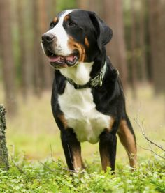 10 Large Dog Breeds That Are Gentle Large Dog Breeds Farm Dogs