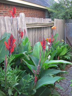 Merriwether's Guide to Edible Wild Plants of Texas and the Southwest: Canna Lily