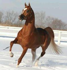 Justify (Magnum Psyche x S Justadream) 2002 flaxen chestnut stallion bred by DST Arabians, Washington Egyptian Arabian Horses, Beautiful Arabian Horses, Majestic Horse, Majestic Animals, Pretty Horses, Horse Love, Andalusian Horse, Friesian Horse, Appaloosa