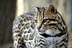 17 Rare Wild Cat Species You Probably Didn't Know Exist Clouded Leopard, Leopard Cat, Wild Cat Species, Black Footed Cat, Pallas's Cat, Sand Cat, Caracal, Exotic Cats, Ocelot