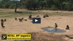 Home of Leopard.tv Wildlife Magazine, Shayamanzi wildlife ranch and wildlife music Baboon, Tv Videos, Ecology, Ranges, Habitats, Survival, Wildlife, Earth, Animals