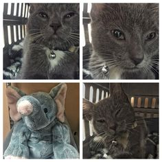 T.C the kitten came prepared for a day at the clinic with his fuzzy blanket and stuffed elephant! He was happy to snuggle in his kennel in the recovery room. Thanks to T.C.'s human family for getting him fixed early, before he is old enough to breed.