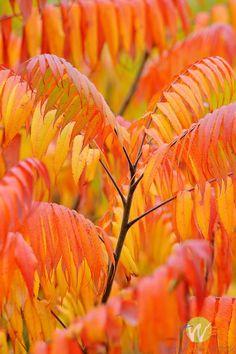 Sumac in Autumn | Terry Wild Photography