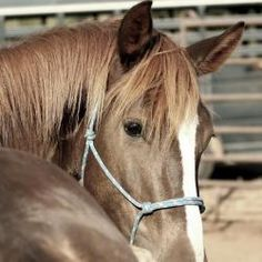Foxy Girl is an adoptable Mustang Horse in Uvalde, TX. Foxy Girl is a 2009, chestnut, Mustang filly. Foxy has spent the 60 days prior to the Expo with a natural horsemanship trainer (Jere Johnson, Nat...