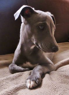 A blue whippet exactly like this (not that I'm fussy!)