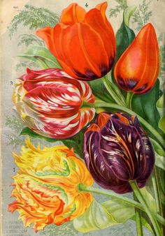 Tulips  - Illustrated catalogue of bulbs and plants : - Biodiversity Heritage Library