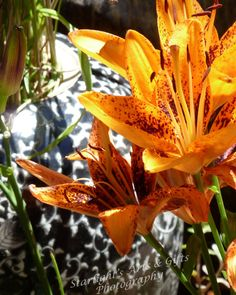This photograph is of a few orange spotted lilies in bloom. This photograph was taken by me in Northern California.    This is available matted