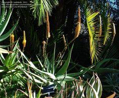 Aloe Dolomitica/Vryheidensis Wolkberg Aloe Wolkbergaalwyn m S A no Lotusland