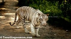 White Tiger at Bannerghatta National Park, Banglore, India