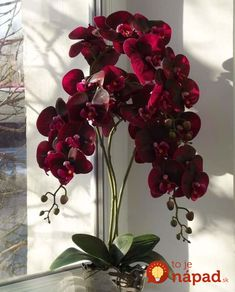 Latest Pics red Orchids Style Should you be new to everything about orchids , avoid being terrified of them. Many orchids might be Red Orchids, Orchids Garden, Orchid Plants, Exotic Plants, Exotic Flowers, Beautiful Flowers, Moth Orchid, Flowers Garden, Orchid Flower Arrangements