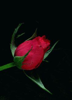 Rose Flower Wallpaper, Flowers Gif, Beautiful Rose Flowers, Beautiful Gif, Rare Flowers, Blooming Flowers, Exotic Flowers, Amazing Flowers, Rose Images