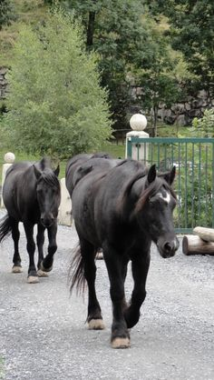 Merens mountain ponies in Gavernie, French Pyrenees. These ponies work at the trekking centre carrying visitors up to the Cirque, and at the end of the day they wandered loose (but supervised) through the town on their way to pasture. - These horses have a good life!