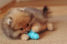 Wolf Sable Pomeranian Puppy