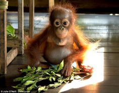 This super-cute baby orangutan has had a difficult start to life - but staff at an animal charity are now caring for his every need.