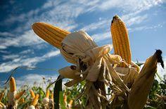 Due europei su tre sono contrari alle coltivazioni biotech