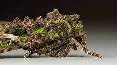 Owlet Moth Trachea atriplicis (Linnaeus, 1758)