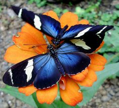 blue morpho butterfly | Recent Photos The Commons Getty Collection Galleries World Map App ...