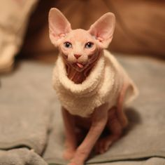 In a sweater. #Hairless #Sphynx #Cat