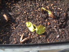 SnapshotRL 柿-3 一本が二葉を出しました。 http://stepaya.blogspot.com/2015/03/snapshot-rl-kaki-3.html