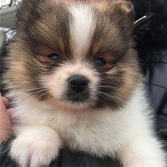 Hey there #pomeranianpuppy#puppies#puppy#newyork#nyc##love#dog#seanthepom#pom#smile #follow #cute #photooftheday #followme #girl #beautiful #happy #picoftheday #instadaily #food #swag #amazing #igers #fun#instalike #bestoftheday#friends #instamood#thedailypompom