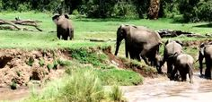 The elephants manage to save the lucky youngster and the herd continue on their way after ...