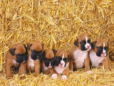Boxers Energetic and Funny Boxer Breed, Boxer Puppies, Pet Puppy, Cute Puppies, Pet Dogs, Dogs And Puppies, Doggies, Boxer And Baby, Boxer Love