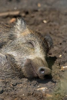 "Contented-looking Eurasian wild pig (wild boar). The phrase ""happy as a pig in mud"" springs to mind- by Mielnik Photography"