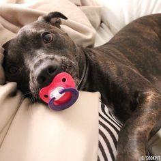 12 photos de pitbulls prouvant qu'ils sont à la fois les chiens les plus câlins…