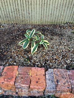 2015/10/18 花壇に植付け。 軽く土を落として。根付いて大きくなって!