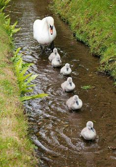 Cygnets at Ansty, Wilts 13 - Chris Parker on Flickr
