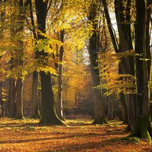 Wall mural - Autumn Scented Woods