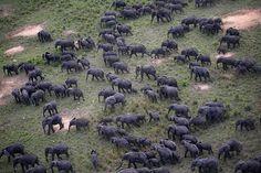 Animals Migrations- Elephants by Nuria Ortega.